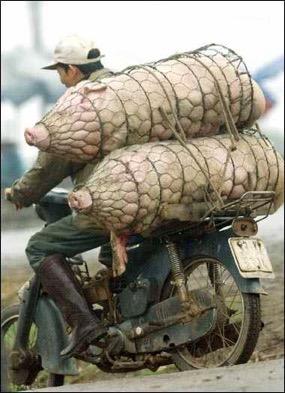 Dos cerdos dentro de rejillas cilíndricas transportados en una moto vieja