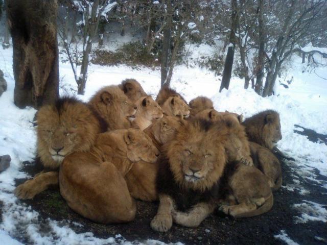 Manada de leones rodeada de nieve